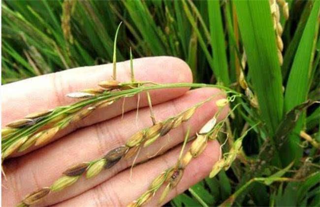 水稻穗发芽原因及预防方法