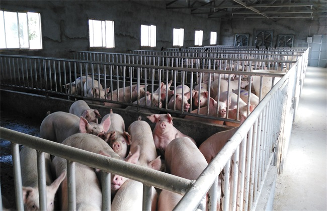 育肥猪 长得慢 原因