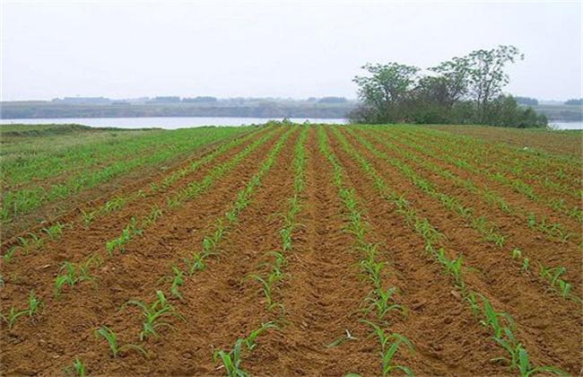 玉米春播时间及注意事项