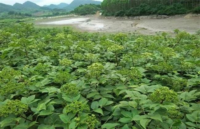 吴茱萸繁殖方法