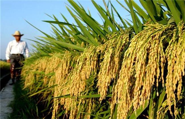 水稻种子发芽率低的原因