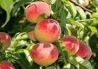 水蜜桃价格走势分析