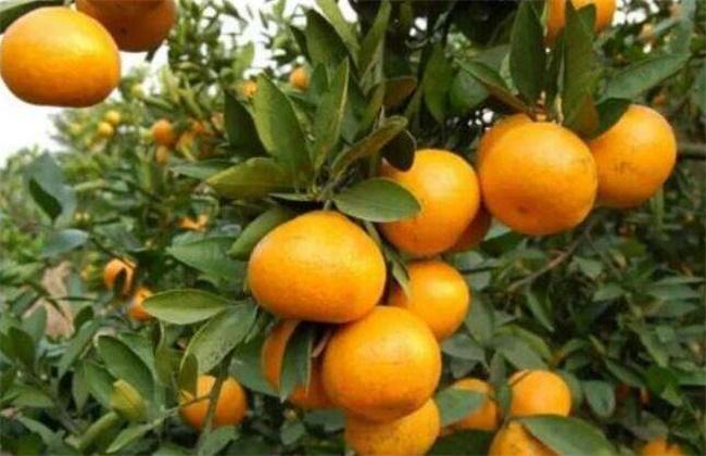 柑橘 施肥 注意事项