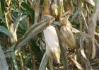 玉米青枯病的防治技术