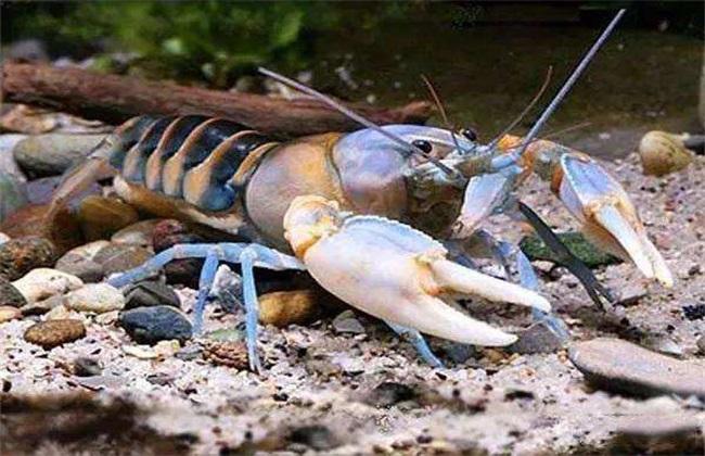 鳌虾和龙虾的区别