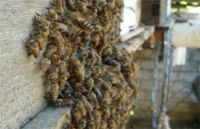 如何进行诱蜂