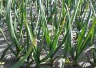 大蒜种植的注意事项