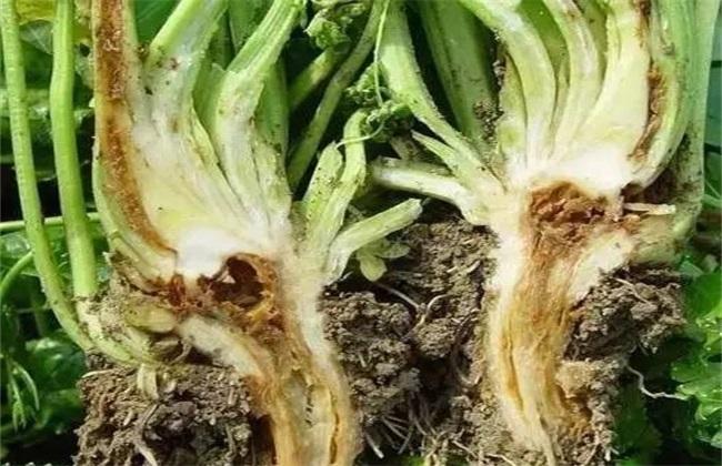 芹菜黑腐病症状及防治
