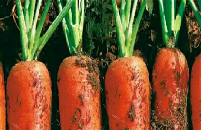 胡萝卜先期抽薹的原因及防治方法