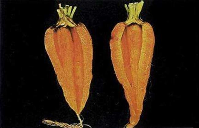 胡萝卜裂根