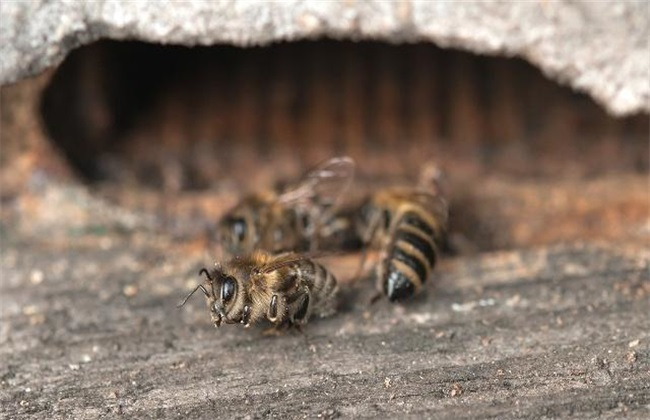 蜂箱外 死雄蜂 怎么回事