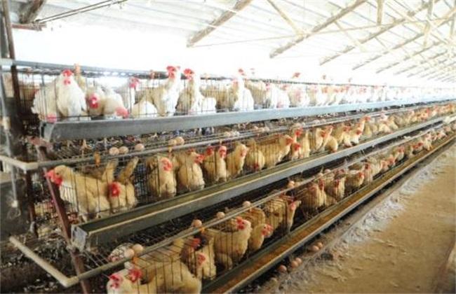 如何减少 蛋鸡 应激