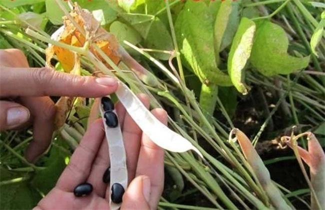 黑豆花荚脱落的预防措施