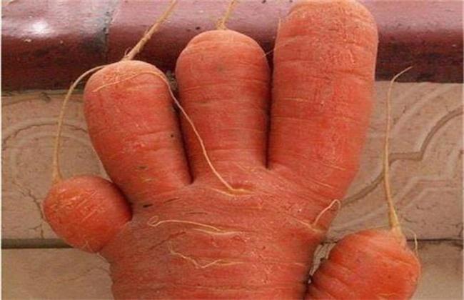 胡萝卜畸形的原因及防治方法