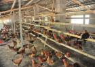 如何减少蛋鸡的应激