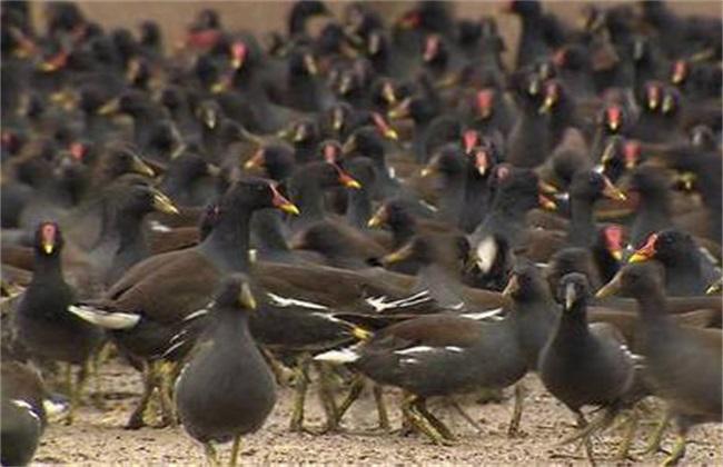黑水鸡养殖的注意事项