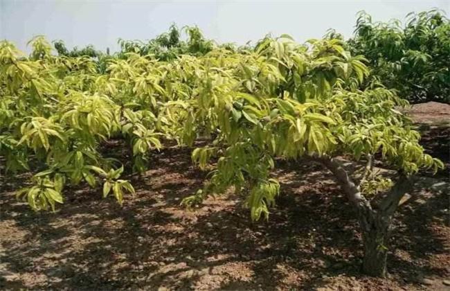 桃树黄化枯死原因