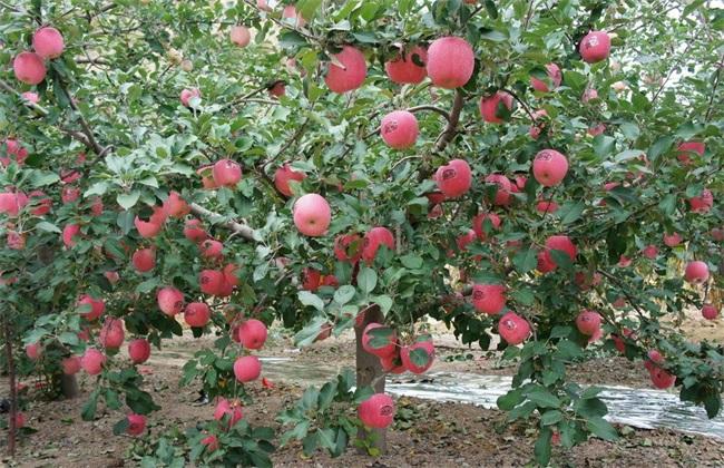 如何提高 苹果 座果率