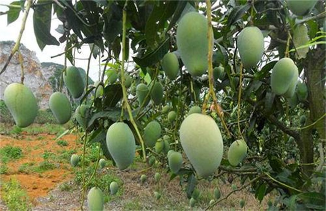 芒果低产的原因
