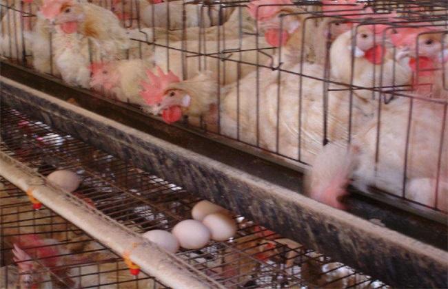蛋鸡产白壳蛋的原因