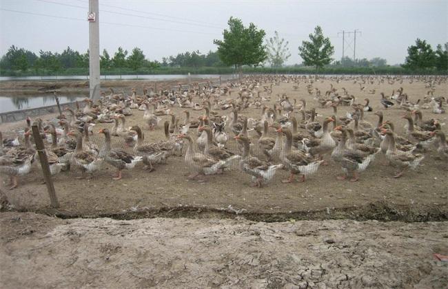如何提高 养鸭 效益