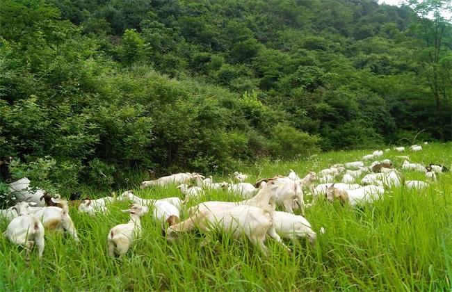 白山羊 养殖 技术