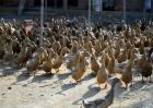 如何提高养鸭效益