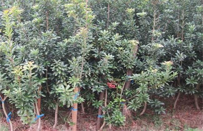 杨梅 繁殖 方法