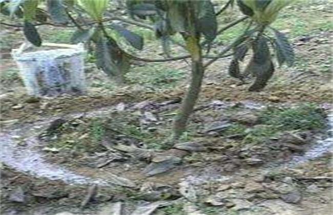 枇杷施肥技术