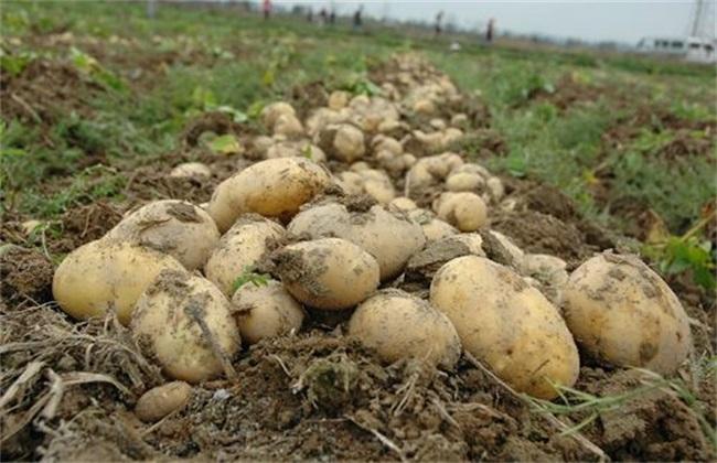 土豆水肥管理要点