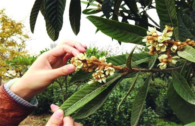 枇杷疏花疏果技术