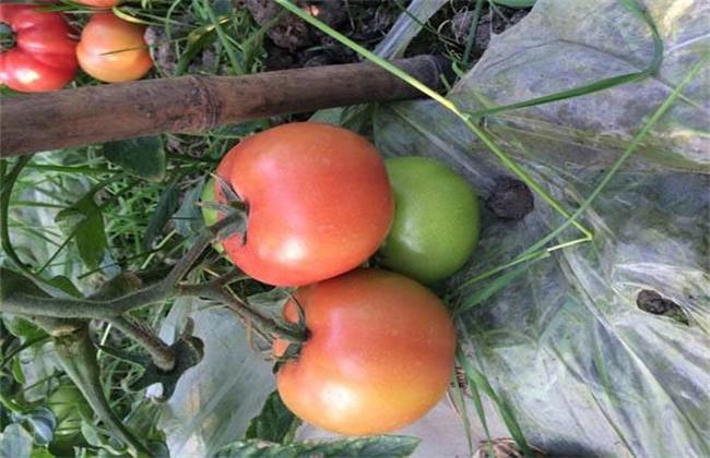 番茄转色不良