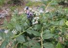 蓝莓的田间管理技术