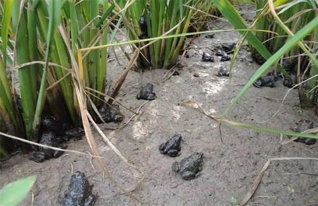 青蛙养殖的注意事项