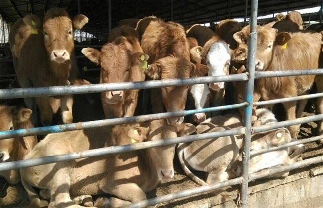 影响 肉牛饲料利用率 因素