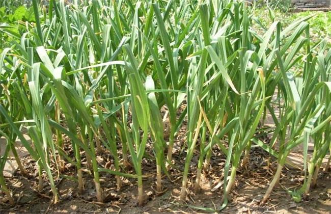 大蒜春季水肥管理措施