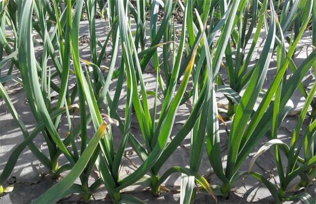 大蒜 春季 水肥管理措施