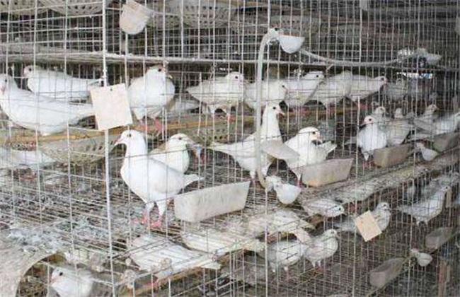 如何判断鸽子饿了