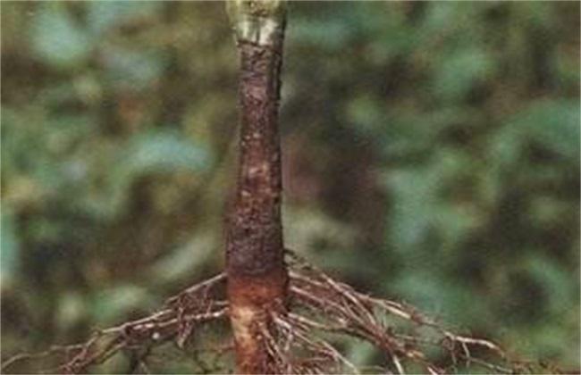 芝麻常见病虫害的防治