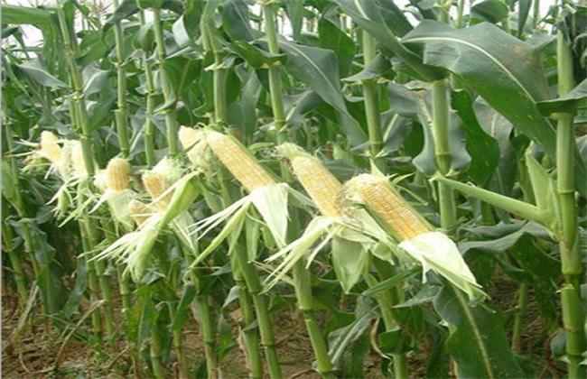 水果玉米 种植 技术