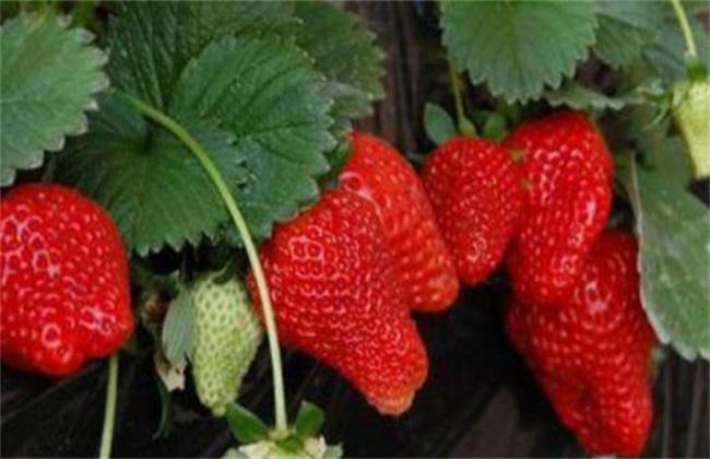 草莓种植增产要点
