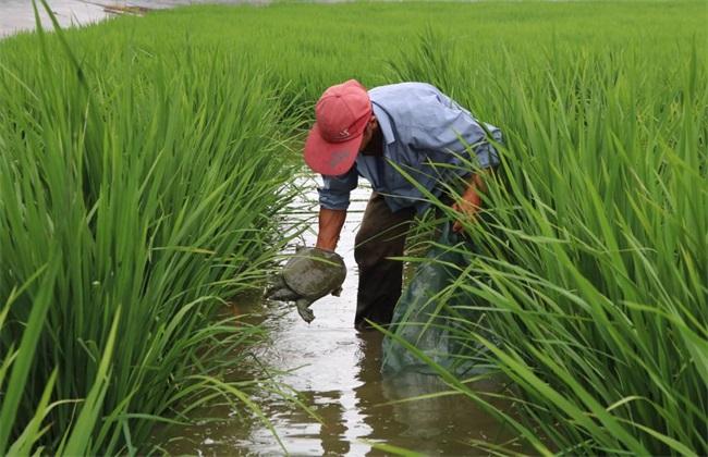 稻田怎么养甲鱼