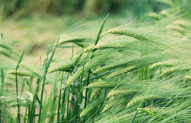 青稞种植技术