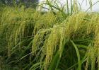 粳米种植技术