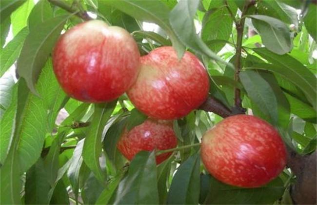 油桃的种植技术