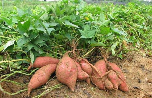 红薯 施肥 方法