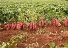 红薯的施肥方法