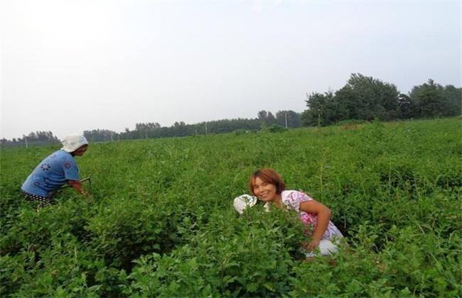 白芍田间管理技术
