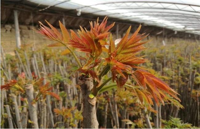 大棚香椿 种植效益 分析