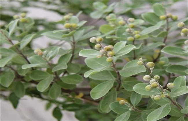 蔓荆子种植效益分析